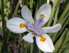 """This lily is Dietes iridiodes """"fortnight lily"""" growing mostly in S. Africa, Australia and California"""