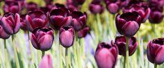 Tulips, Keukenhof, The Netherlands