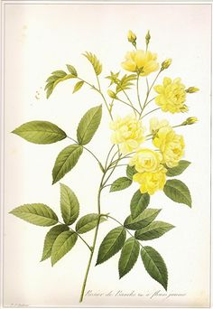 REDOUTE Vintage 1990 Art Print Botanical Original Book Plate 123 Beautiful Yellow Banksian Roses with Antique Writing