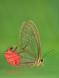 Pink glasswing, amazing!
