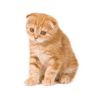 Orange Scottish Fold