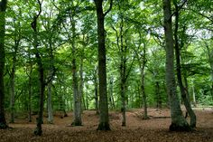 Beech forest / Bokskog | Flickr - Photo Sharing!