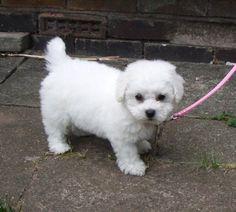 bishon frise puppy | Bichon Frise Puppy Pictures Information