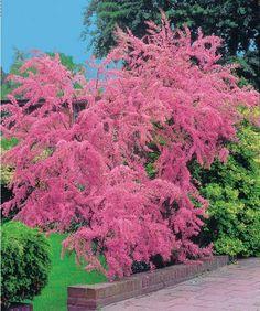 Tamaris d'été Trees And Shrubs, Flowering Trees, Trees To Plant, Pink Garden, Lawn And Garden, Garden Shrubs, Garden Landscaping, Outdoor Plants, Outdoor Gardens