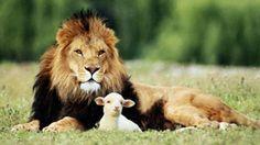 Cuento de la oveja que era un tigre