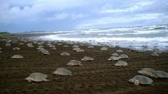 The Gahirmatha Marine Wildlife Sanctuary is the only marine sanctuary of Orissa. In 1997 the Government of Orissa declared the area as Gahirmatha Marine Sanctuary considering its ecological significance and diverse floral and faunal resources. Stretching over 705 metres, the Gahirmatha beach has been a cradle to adult sea turtles and their babies since time immemorial. #Orissa   #Wildlife   #Travel   #India