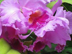 Orchid Show at Missouri Botanical Garden