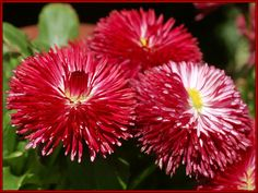 pictures of flowers Flora Flowers, Exotic Flowers, Flower Petals, Red Flowers, Red Roses, Beautiful Flowers, Flowers Gif, Bellis Perennis, Flower Pot People
