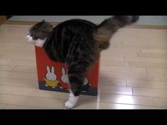 Maru and many too small boxes -- too funny! makes me want a cat. they're so dumb!