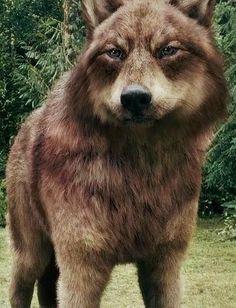 Jacob Black wolf from twlight Jacob Black Twilight, Twilight Wolf Pack, Twilight New Moon, Twilight Series, Twilight Movie, Taylor Lautner, Jacob Lobo, Wolf Poem, Of Wolf And Man