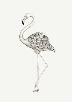 Flamingo Outline How To Draw A Greater Flamingo Step 5 Coloring