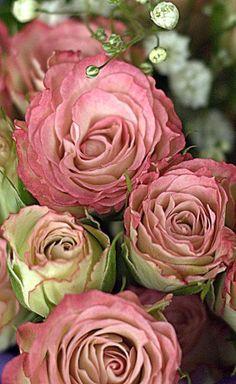 Rosas inglesas http://pinterest.com/pin/232568768230333135/