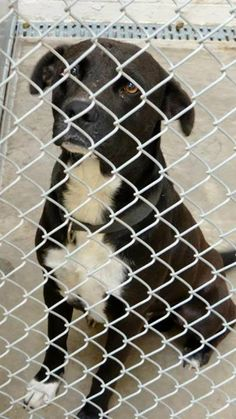*********CODE RED/EUTH LISTED********* *WILL BE PTS IF NOT TAGGED BY 7 AM MT ON 10/8*  CAGE 6 - DRAKE BLACK/WHITE PIT X; MALE 4 YEARS IMPOUND 9-26-13 | DUE OUT 10-3-13 7 AM  Roswell Animal Control 705 E. McGaffey; Roswell, NM 575-624-6722  https://www.facebook.com/RoswellUrgentAnimalsAtAnimalControl/photos/a.211174685717203.1073741846.176246809209991/210593459108659/?type=3&permPage=1