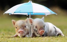 What are these little piggies saying?