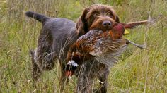 german wirehaired pointer + dead bird = happy me Curly Coated Retriever, Braque Du Bourbonnais, Ora Pro Nobis, Ugly Dogs, Dog Toilet, German Wirehaired Pointer, Pointer Dog, Hunting Dogs, Dogs And Puppies