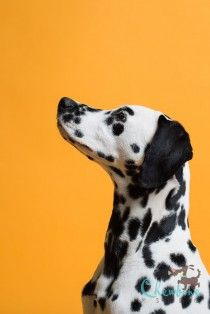 This photo album was shot by Leigh Demshar of Chewbone Studio and features some of the most adorable puppy portraits we've ever seen! See Full Photo Gallery >> Portrait Photo, Animal Photography, Savage, Cute Puppies, Giraffe, Photo Galleries, Pets, Portraits, Gallery