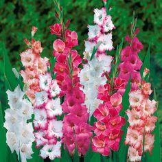 Un zoom de glaïeuls comme une décoration florale