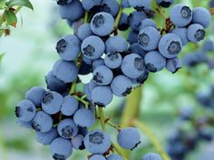 Garden blogger Marianne Canada offers tips for how to grow delicious blueberries in your home garden.