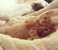 These Cats Just Love To Snuggle - World's largest collection of cat memes and other animals Pretty Cats, Beautiful Cats, Animals Beautiful, Cute Kittens, Ragdoll Kittens, Tabby Cats, Bengal Cats, I Love Cats, Crazy Cats