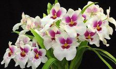Bom Lazer - Seu fim de semana começa aqui: Festival de Orquídeas reúne mais de 10 mil espécie...