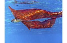 Blanket Octopus - This vibrantly colored cephalopod is one of the most gorgeous creatures one can find in a tropical ocean. One of the most interesting facts about the Blanket Octopus is that it is immune to the venom of the Portuguese Man O' War. Underwater Creatures, Ocean Creatures, Weird Creatures, True Crime, Blanket Octopus, Coconut Octopus, Portuguese Man O' War, Dumbo Octopus, Eye Photography