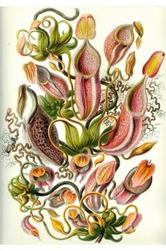 Amazing Botanical Illustrations by Ernst Haekel . . .   Content in a Cottage