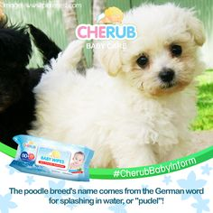 Our cute pet poodle is a water dog! Cherub Baby, Splish Splash, Baby Care, Cute Animals, Dog, Pets, Amazing, Water, Poodle