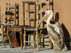 Lesvos | Skala Kallonis | Chairs for sale !! by Aat Bender on 500px  In front of the office of the Skala Kalonis harbour-master. In the meantime this friendly bird lost one of his legs in a car accident