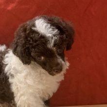 Puppies Sold In Arizona Puppyspot Puppies Puppy Adoption