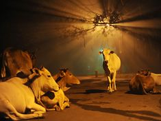 "Photograph by Mariajoseph Johnbasco.    ""I shot this calf on the road in 2011 on the eve of Diwali at Neyveli, which is my hometown. Due to crackers going off everywhere, the cows couldn't rest near homes so they sought the middle of the road for rest. The fog, noise, and the backlighting of the streetlight made me take this picture."" This picture is so engaging. Almost eery, but lovely."