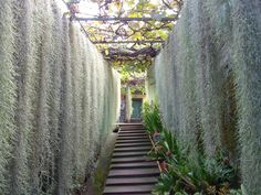 Spanish moss scientific name is Tillandsia usneoides. Tillandsia Usneoides, Garden Art, Garden Design, Bali Garden, Grow Supplies, Plante Carnivore, Orchid Show, Moss Wall, Spanish Moss
