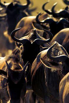 Wildebeest annual migration across Mara River, Masai Mara National Park, Kenya