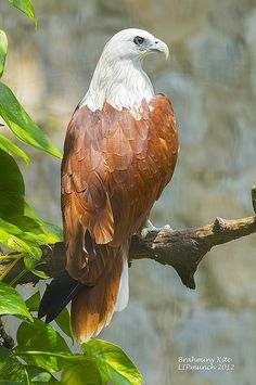 The Brahminy Kite (Haliastur indus) also known as the Red-backed Sea-eagle in Australia, is a medium-sized bird of prey in the family Accipitridae, which also includes many other diurnal raptors such as eagles, buzzards and harriers - Kinds Of Birds, All Birds, Birds Of Prey, Love Birds, Pretty Birds, Beautiful Birds, Animals Beautiful, Exotic Birds, Colorful Birds
