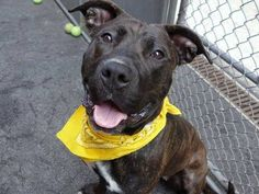 TO BE DESTROYED - 05/02/14 Manhattan Center -P  My name is KISSY. My Animal ID # is A0997402. I am a female br brindle and white pit bull mix. The shelter thinks I am about 1 YEAR 1 MONTH old.  I came in the shelter as a STRAY on 04/22/2014 from NY 11428, owner surrender reason stated was STRAY.