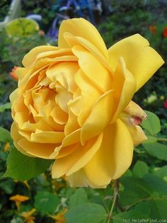 'Golden Celebration ™' rose