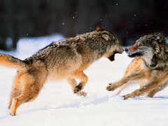 The Two Wolves, a Cherokee Teaching, click on the picture for those AHS students Mr. Caymberg taught me this