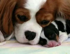 Blenheim Cavalier momma with Tricolor baby - such sweetness.