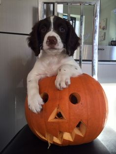 "This is our gorgeous springer spaniel puppy called ""Chips"" 9 weeks old liver and white"