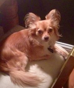 Lost Dog - Chihuahua Long Haired - Norcross, GA, United States 30092