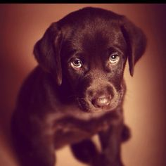 Chocolate labs - doesn't get any cuter than this