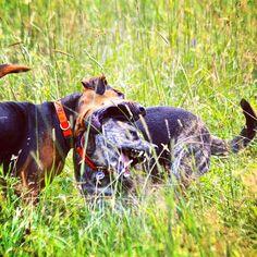 Crazy playing friends on the same page! #evasplaypupspa #dogcamp #doggievacays #bffs #dogsinnature #dogdaysofsummer #dogsofinstagram #endlessmountains #mountpleasant