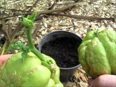 How to Grow Your Own Choko (Chayote) | Dengarden