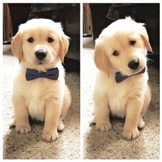 Golden Retriever puppy wearing a bow tie