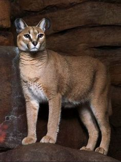 caracal Caracal Cat, Baby Animals, Cute Animals, Exotic Cats, Mountain Lion, Pumas, Lynx, Wild Life, Long Legs