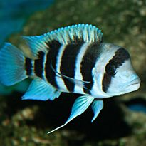 African Cichlids-Malawi Cichlids Online Supplier- Aquatics to your Door Malawi Cichlids, African Cichlids, Tropical Fish Tanks, Tropical Aquarium, Aquarium Fish For Sale, Pretty Fish, Shark Week, Colorful Fish, Under The Sea