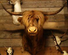 Výsledek obrázku pro scottish bull head