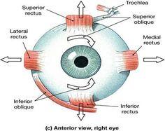 Functional anatomy of the eye