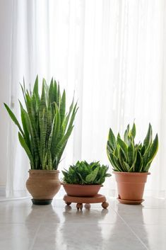 Snake plant care guide to ensure that your snake plant benefits from healthy conditions, so you can enjoy its splendor for many years to come. Snake Plant Propagation, Sansevieria Plant, Sansevieria Trifasciata, Balcony Flowers, Flower Planters, Living Room Plants, House Plants, Best Bathroom Plants, Snake Plant Care