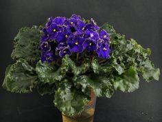 Optimara EverSpecial (R.Holtkamp).  Полумахровые кобальтово-синие анютины глазки с золотисто-зеленой гофрированной каймой. Средне-зеленые волнистые листья.