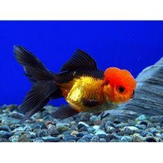 red and black oranda #goldfish